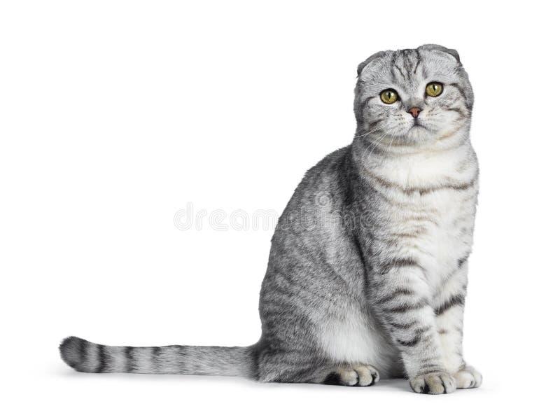 Jeune chaton écossais tigré argenté mignon de chat de pli, d'isolement sur le fond blanc photos stock