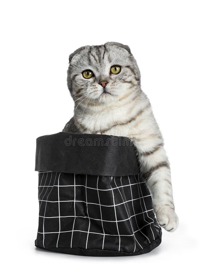 Jeune chaton écossais tigré argenté mignon de chat de pli, d'isolement sur le fond blanc photo stock
