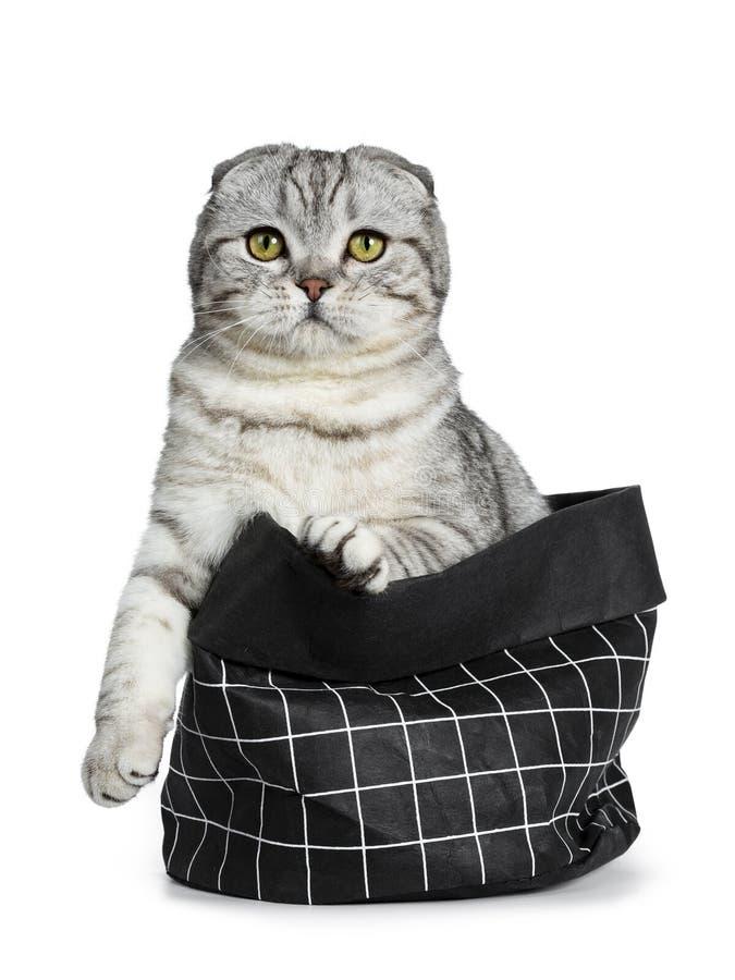 Jeune chaton écossais tigré argenté mignon de chat de pli, d'isolement sur le fond blanc photographie stock