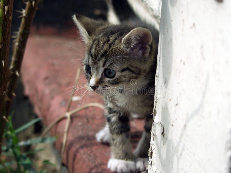 Jeune chaton - regard curieux image libre de droits