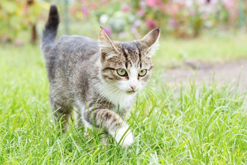 Jeune chaton tigré gris et blanc marchant sur l'herbe verte extérieure photos libres de droits