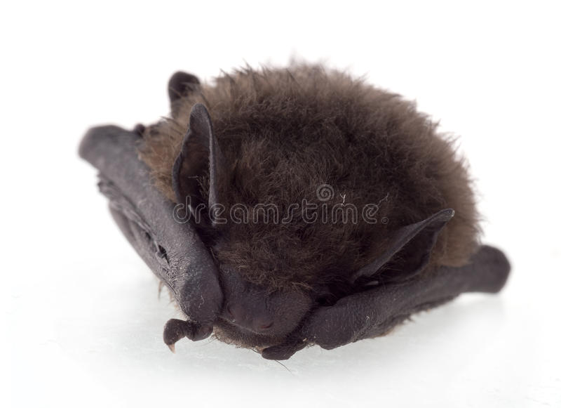 Jeune chauve-souris, dormant photo libre de droits