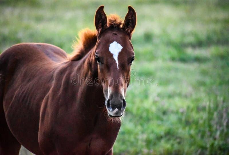 Jeune cheval image libre de droits