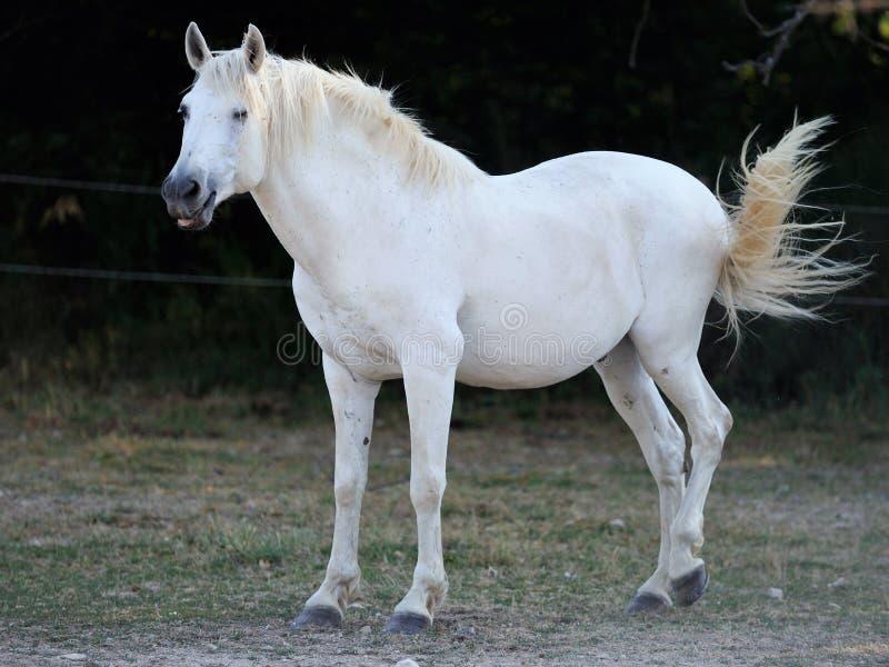 Jeune cheval blanc images stock