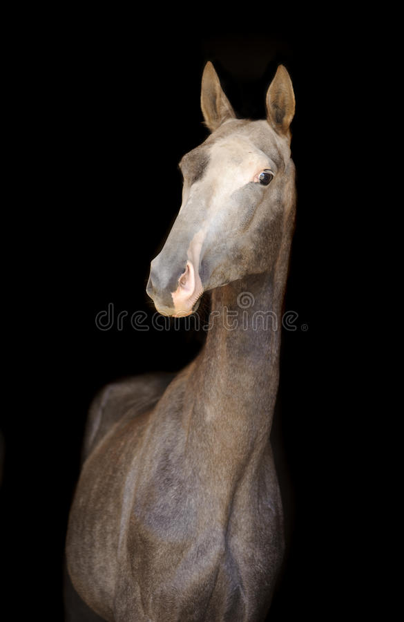 Jeune cheval d'akhal-teke sur le noir photo libre de droits