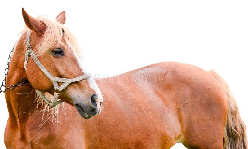 Jeune cheval de châtaigne d'isolement sur le blanc image stock