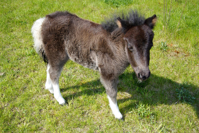 Jeune cheval de poney photographie stock