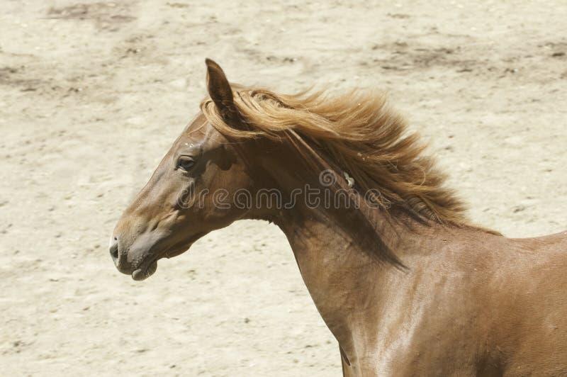Jeune cheval de Saddlebred photos libres de droits