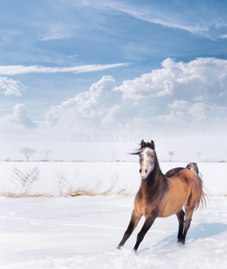 Jeune cheval espiègle dans la neige d'hiver au-dessus du beau ciel bleu avec des nuages images stock