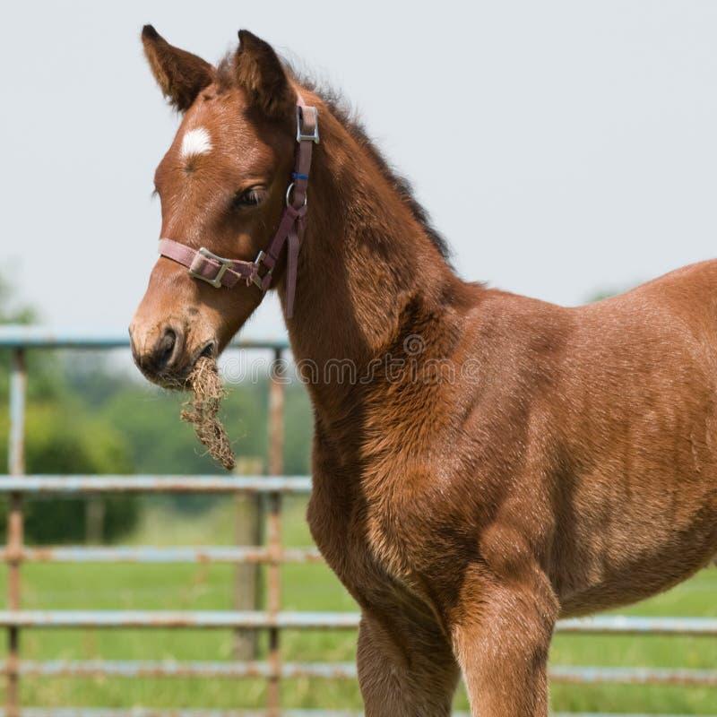 Jeune cheval mangeant l'herbe photos libres de droits
