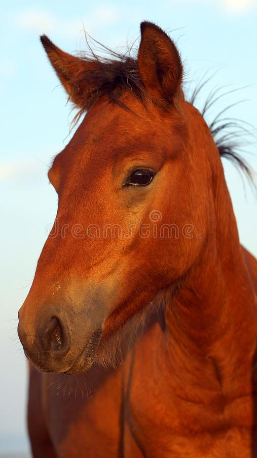 Jeune cheval sauvage curieux sur la lagune de Sacalin photos libres de droits