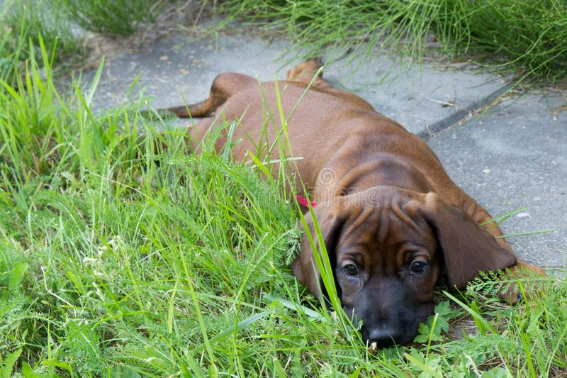 Jeune chien bavarois de parfum photo stock