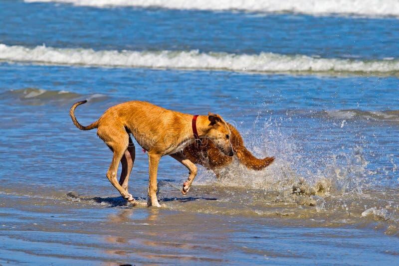 Jeune chien croisé de lévrier obtenant éclaboussé images stock