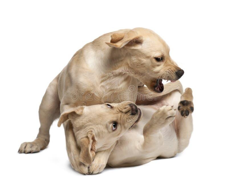 Jeune chien d'arrêt de Labrador, 4 mois images libres de droits