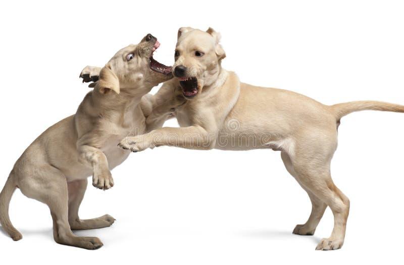 Jeune chien d'arrêt de Labrador, 4 mois photos libres de droits
