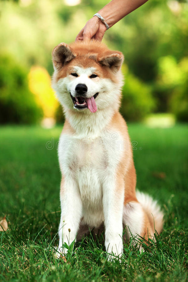 Jeune chien d'inu d'akita se reposant dehors sur l'herbe verte photographie stock libre de droits