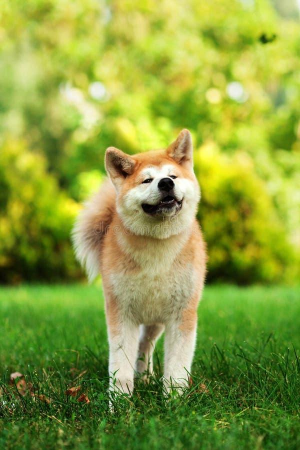 Jeune chien d'inu d'akita se reposant dehors sur l'herbe verte image stock