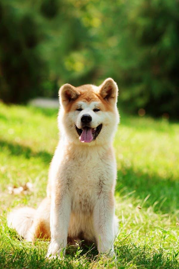 Jeune chien d'inu d'akita se reposant dehors sur l'herbe verte photographie stock