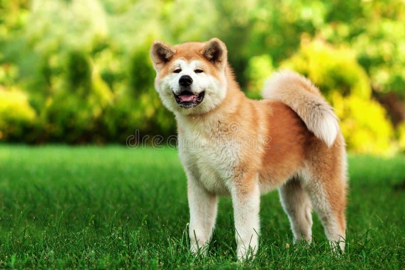 Jeune chien d'inu d'akita se tenant dehors sur l'herbe verte photo libre de droits