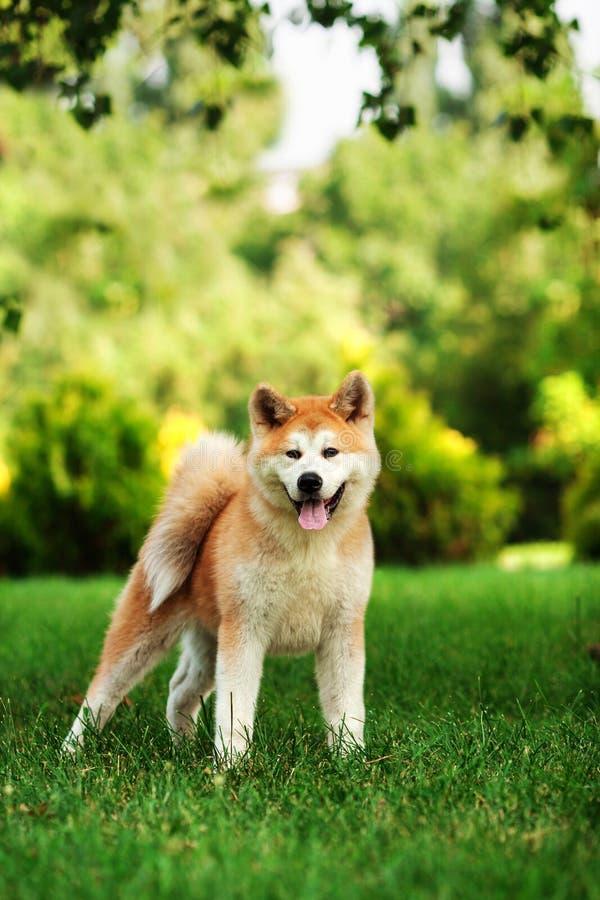 Jeune chien d'inu d'akita se tenant dehors sur l'herbe verte image stock