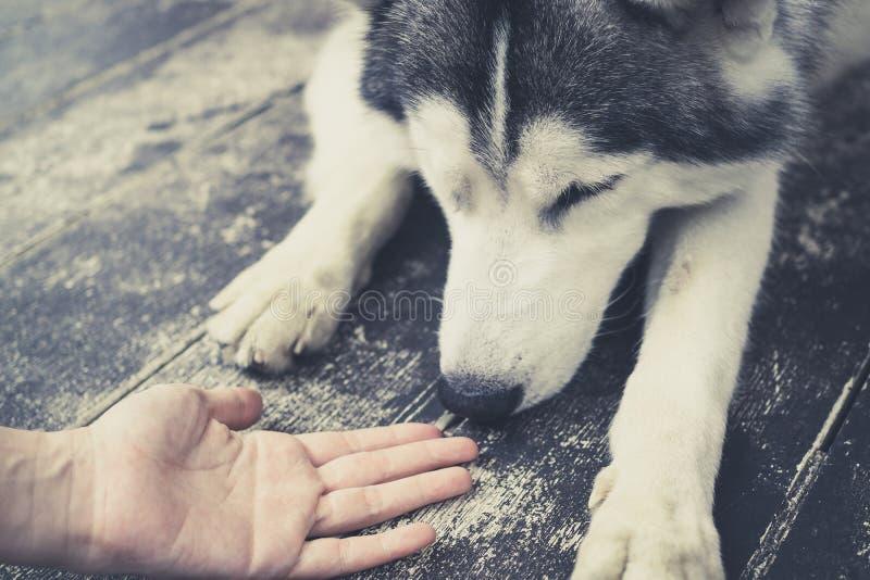 Jeune chien de Husky Siberian reniflant aux mains humaines image stock