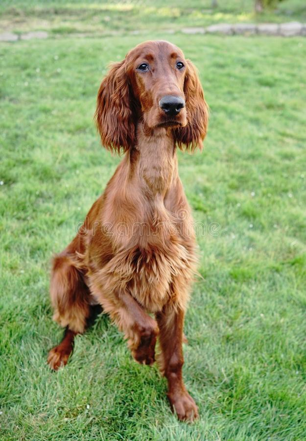 Jeune chien de race de canine de chiot de poseur irlandais photo stock