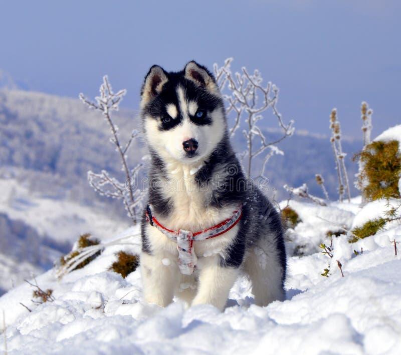 Jeune chien de traîneau sibérien images stock