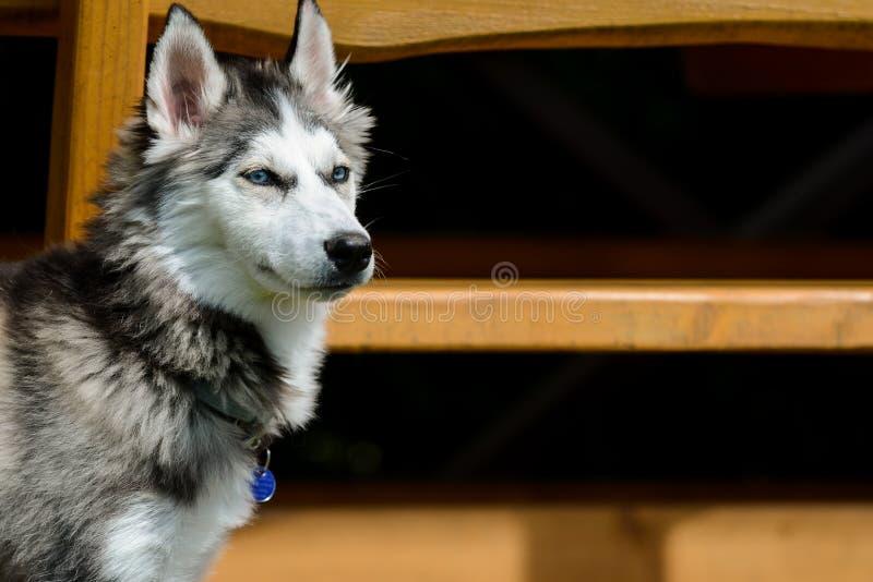 Jeune chien de traîneau sibérien dans le jardin image libre de droits
