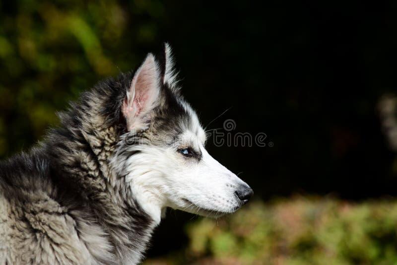 Jeune chien de traîneau sibérien dans le jardin image stock