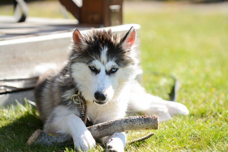 Jeune chien de traîneau sibérien dans le jardin photographie stock