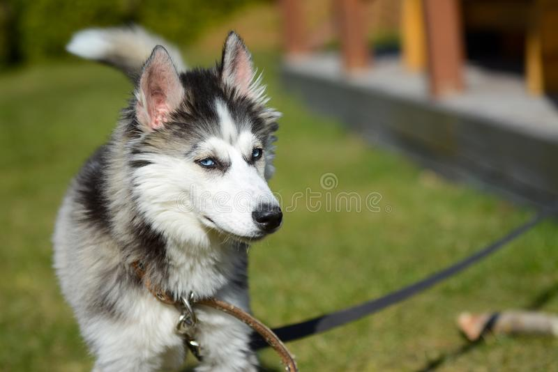 Jeune chien de traîneau sibérien dans le jardin photo stock