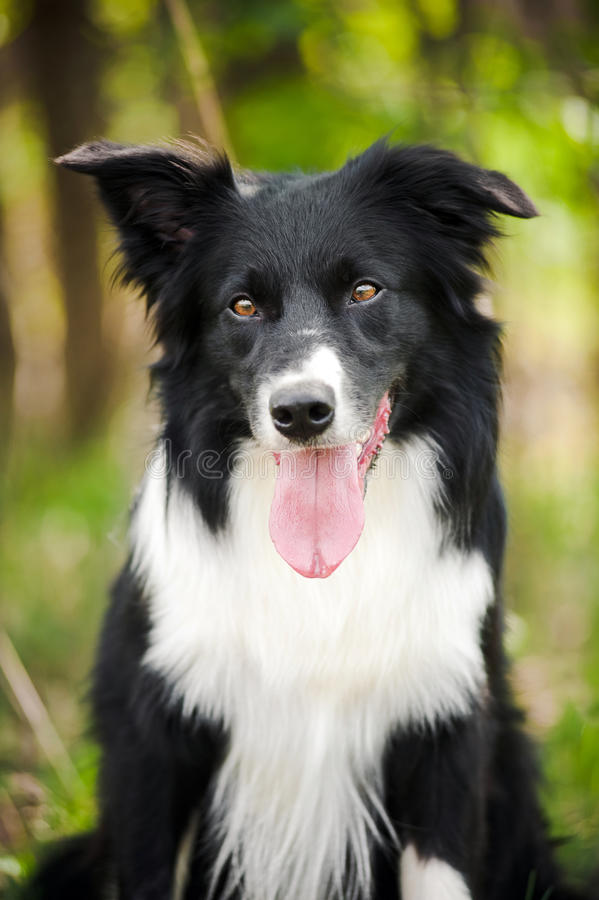 jeune chien noir et blanc de border collie photo stock. Black Bedroom Furniture Sets. Home Design Ideas