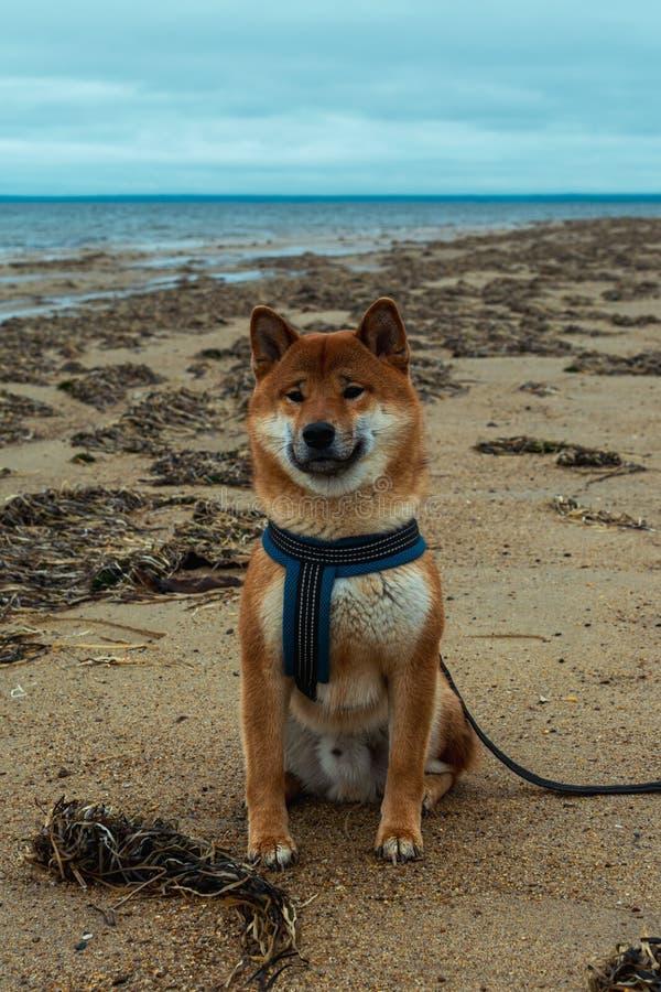Jeune chien pedigree reposant sur la plage Chien inu shiba rouge assis près de la mer d'Okhotsk sur l'île de Sakhaline photographie stock