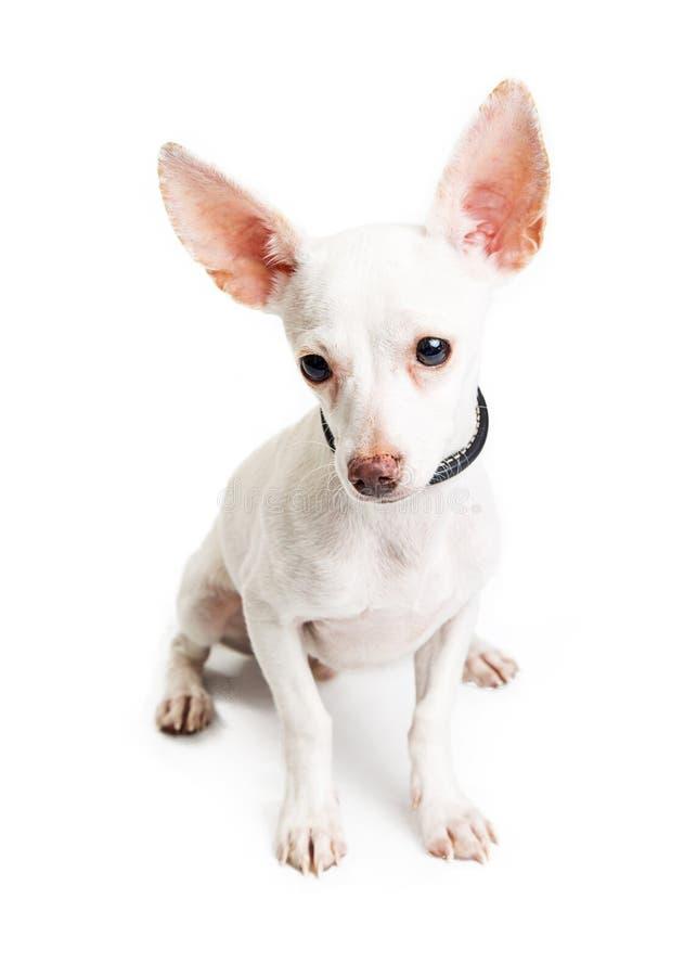 Jeune chien timide de chiwawa regardant vers le bas photo libre de droits