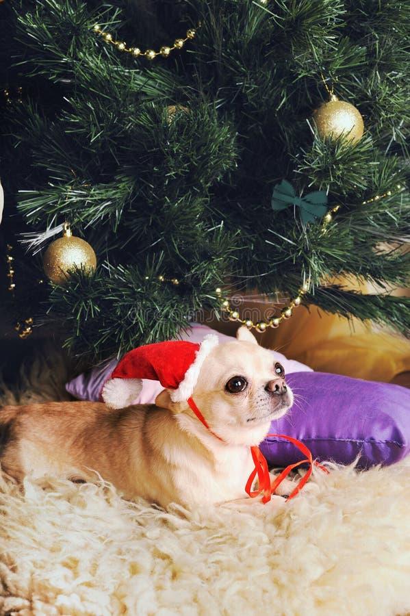 Jeune chihuahua beige à chapeau de Santa Maria sous l'arbre de Noël images stock
