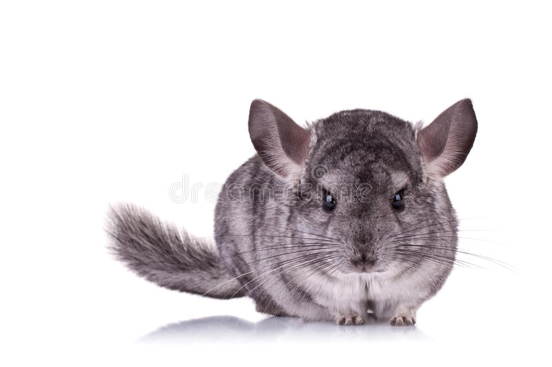 Jeune chinchilla photo libre de droits