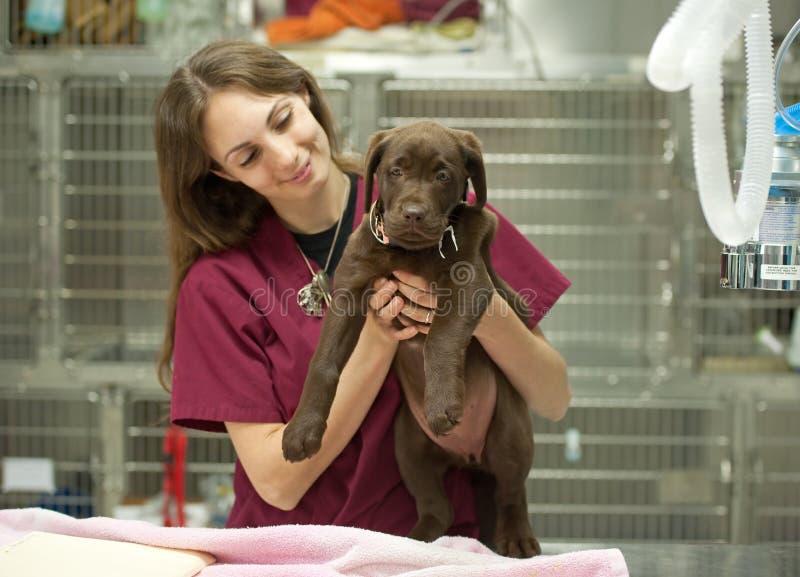 Jeune chiot au vétérinaire photos stock