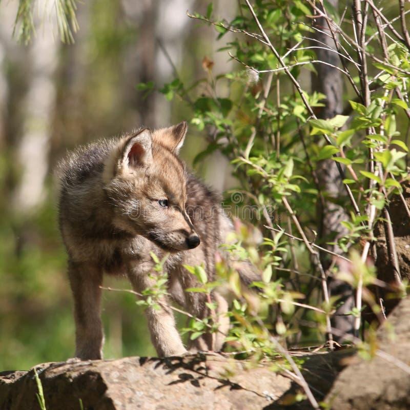 Jeune chiot de loup gris image libre de droits
