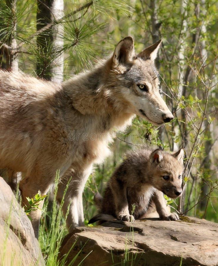 Jeune chiot de loup gris avec le parent image libre de droits
