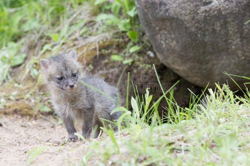 Jeune chiot de renard gris photographie stock libre de droits