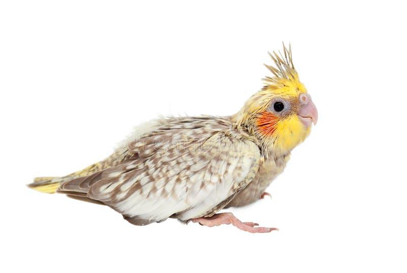 Jeune cockatiel d'isolement image libre de droits