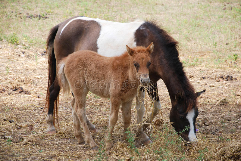 Jeune colt de cheval images libres de droits