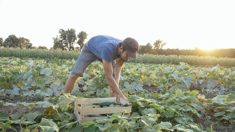 Jeune concombre masculin de cueillette d'agriculteur à la ferme organique d'eco photographie stock libre de droits
