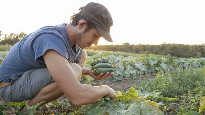 Jeune concombre masculin de cueillette d'agriculteur à la ferme organique d'eco image stock