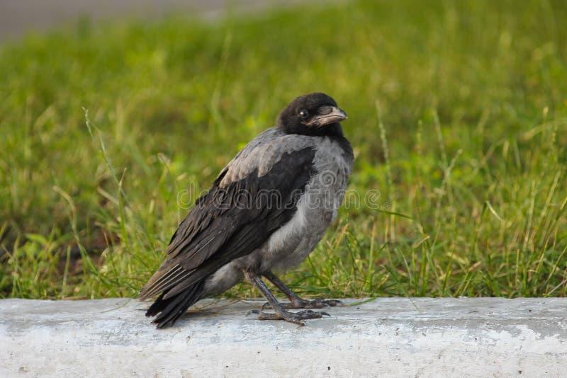 Jeune cornix de Corvus dans la ville européenne image libre de droits