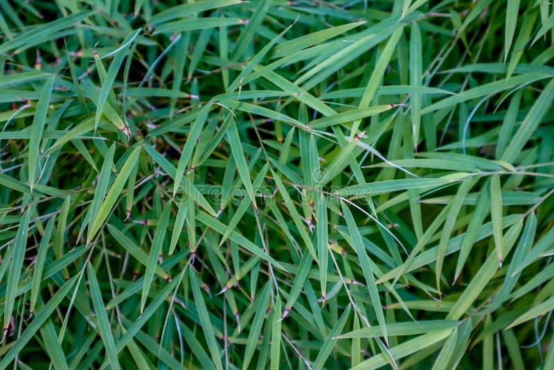 Jeune couverture en bambou verte de feuilles photos stock