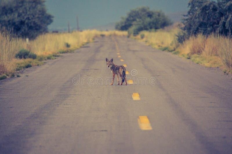 Jeune coyote photo libre de droits