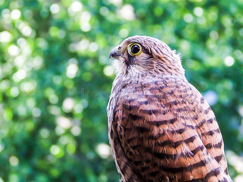Jeune crécerelle de faucon photographie stock libre de droits