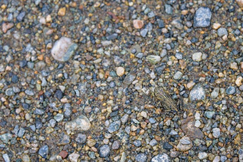 Jeune crapaud occidental minuscule émigrant à travers la plage perdue de lac à la forêt alpine, Whistler, la Colombie-Britannique images stock