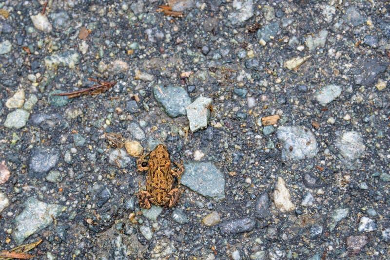 Jeune crapaud occidental minuscule émigrant à travers la traînée perdue de lac du lac perdu à la forêt alpine, Whistler, la Colom photographie stock